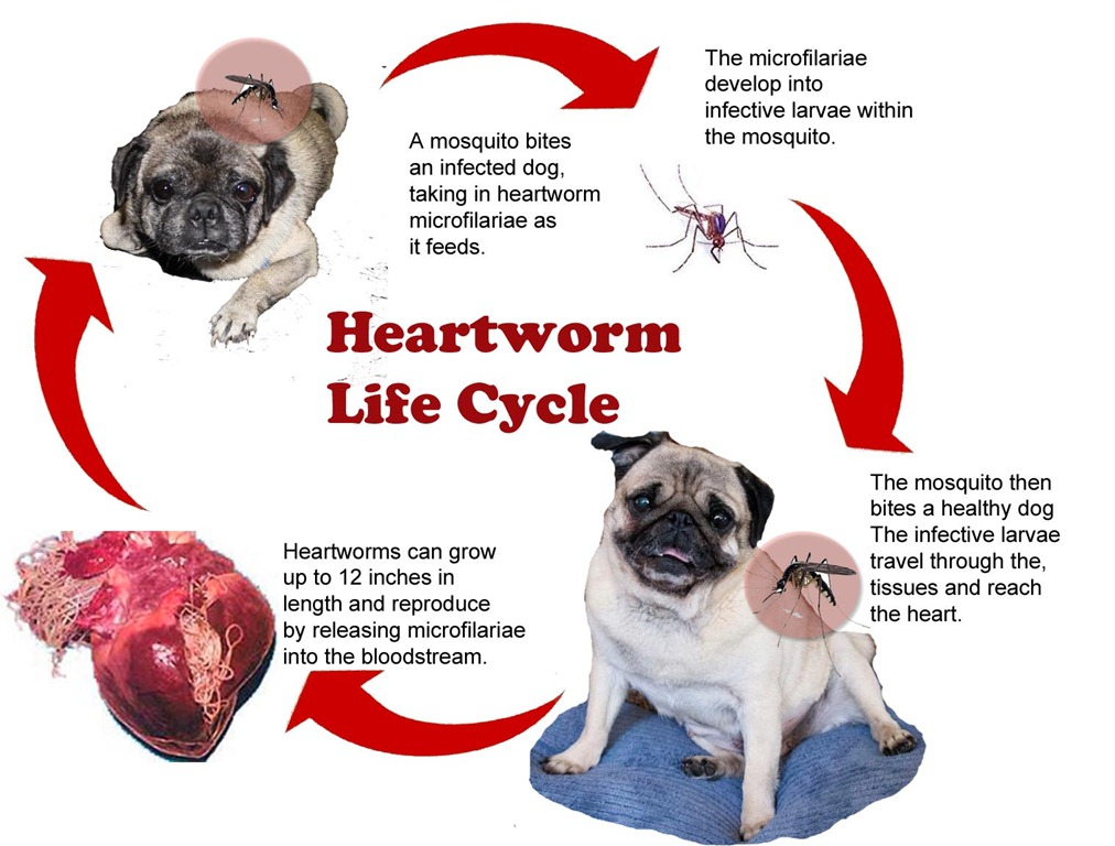 Any dog can get heartworms. Heartworm disease is very