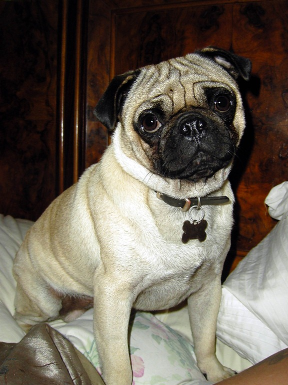 Shelter Just Pugs